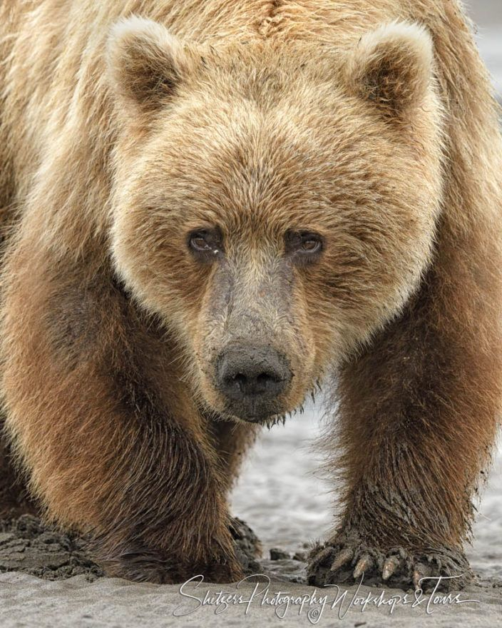 Grizzly Bear Face Close Up Bear Pictures Grizzly Bear Grizzly Bear Photography