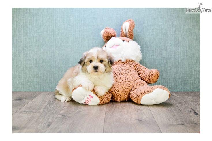 Shichon puppy for sale near Columbus, Ohio | b1962547-c031