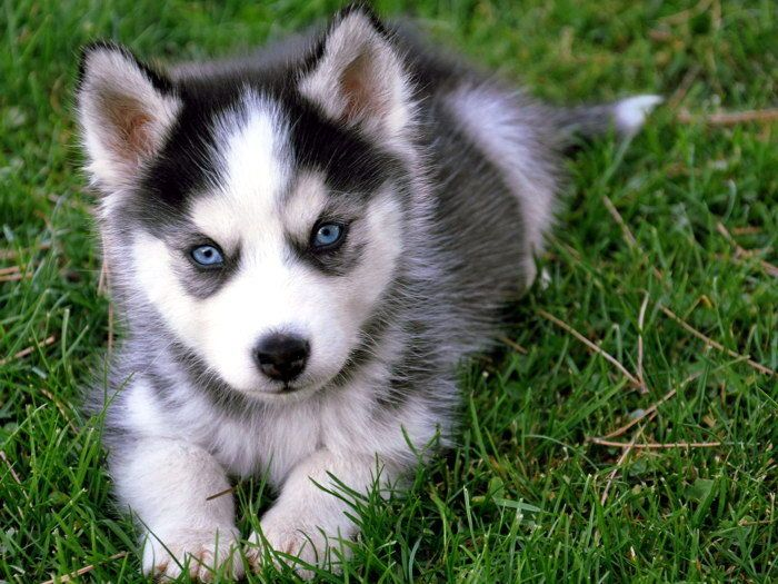 5 95 Cute Siberian Husky Puppy Dog Gigantic Print Poster Ebay