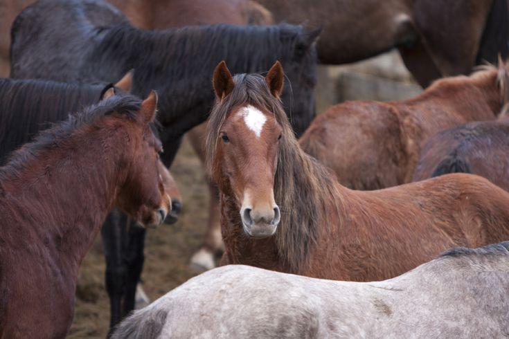 Kaimanawa Horse - New Zealand