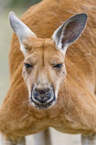 Closeup of a male kangaroo | by Tambako the Jaguar