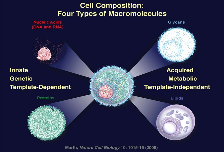 This image shows four types of macromolecules in cells. The nucleic acids DNA and RNA and proteins are on the left and glycans and lipids are on the right. (UCSB)