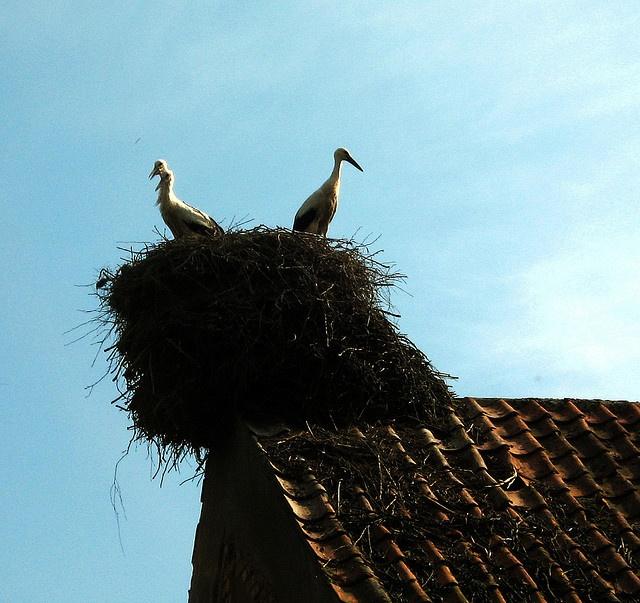 Storks in Mazury; Kajtek z ukochaną :)