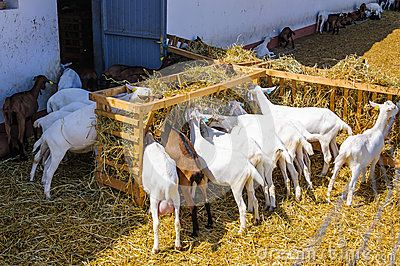Download Goats Eating Royalty Free Stock Images for free or as low as 0.68 lei. New users enjoy 60% OFF. 22,807,203 high-resolution stock photos and vector illustrations. Image: 39697069