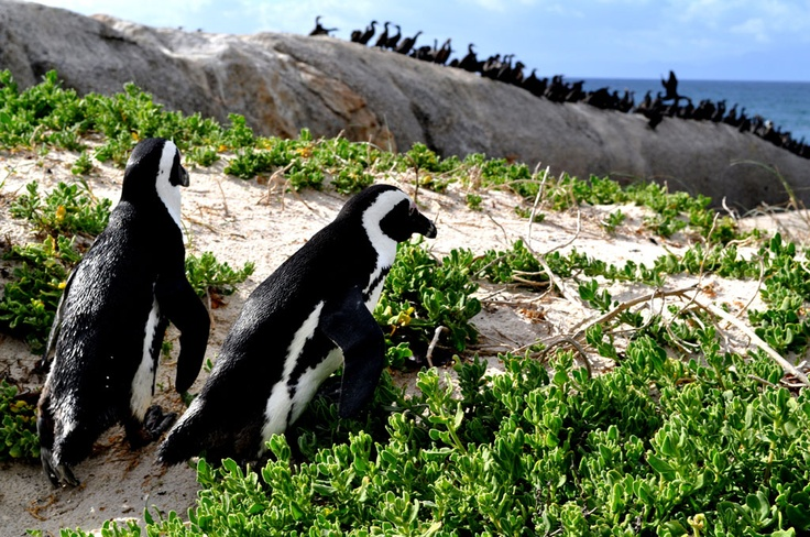 African penguins. Wonderfully awkward.