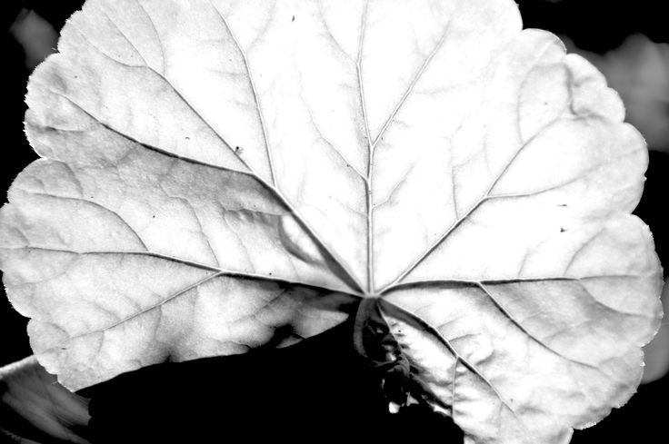 Nature's vein. The white leaf 2017.  Xristo C. Russell
