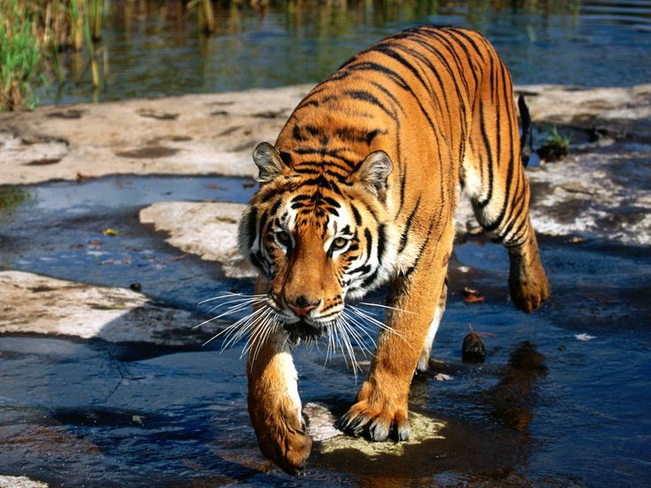 tigers | tigers old or injured and are unable to capture their natural prey ...