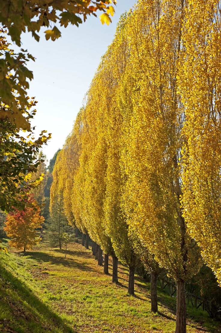 Populus nigra 'Afghanica'. Theves Poplar. 70'-100' high, 10'-20' wide. Zone 3.