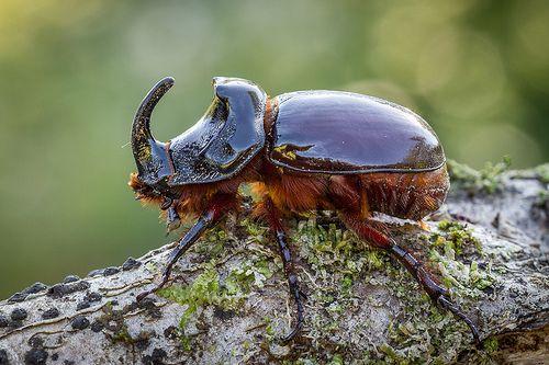 Escarabajo rinoceronte - Oryctes nasicornis