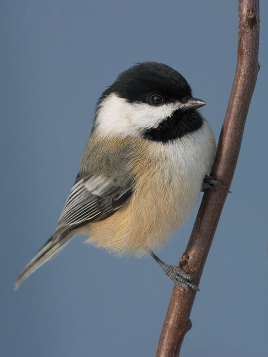 Black-capped Chickadees - I love watching these cheerful little birds!