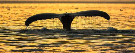Sunset humpback Photo by Anders Hanssen -- National Geographic Your Shot