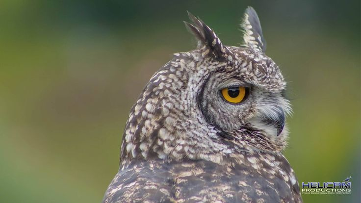 Beautiful Owl at Falcon Ridge in Champayne Valley, Drakensberg, South Africa