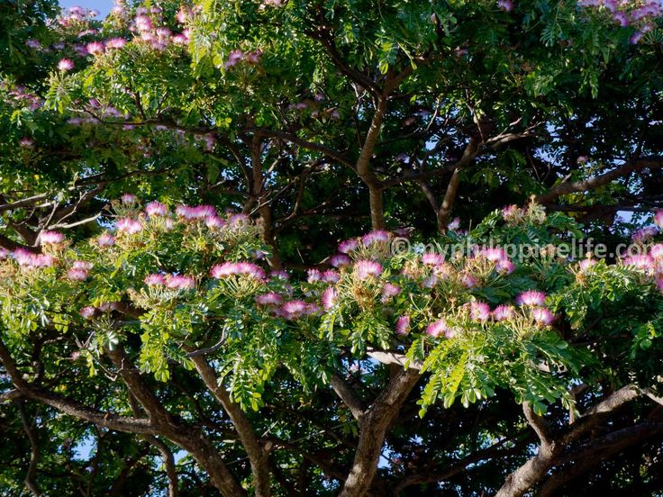Philippine Shrubs Plants And Flowers Our Gallery