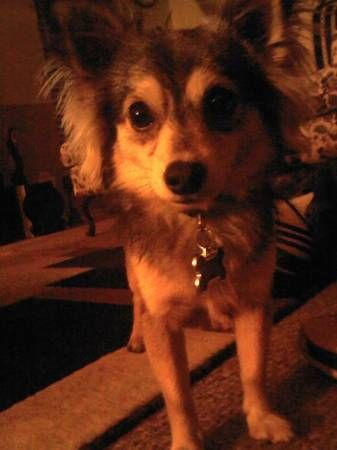 1000+ images about CHIHUAHUAS - US LOST DOG REGISTRY on ...