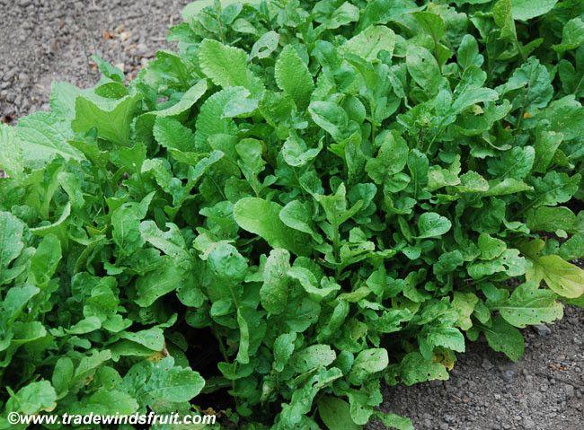 Apollo Arugula Eruca sativa Seeds + FREE Bonus 6 Variety Seed Pack - a $30 Value!
