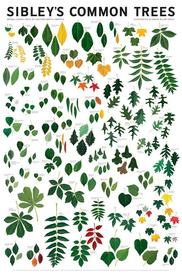 13 best hr plants images on pinterest tree drawings nature and sibleys common trees of eastern north america wall poster fifty of the most well known sciox Gallery