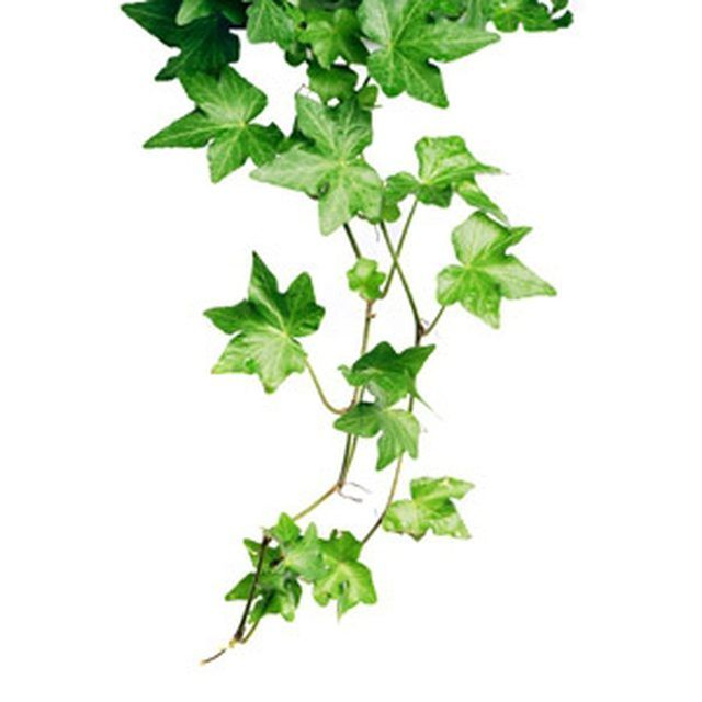 It's easy to see why ivy is such a popular houseplant. With its trailing, vining habit and classic lobed leaves, the ivy connotes romance and elegance. Hundreds of ivy...