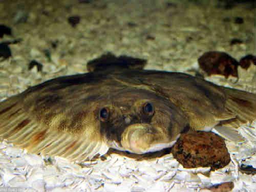 Рыба камбала: польза и вред для организма мужчин, беременных, при панкреатите. Виды, где водится, выбор, хранение, калорийность, противопоказания.