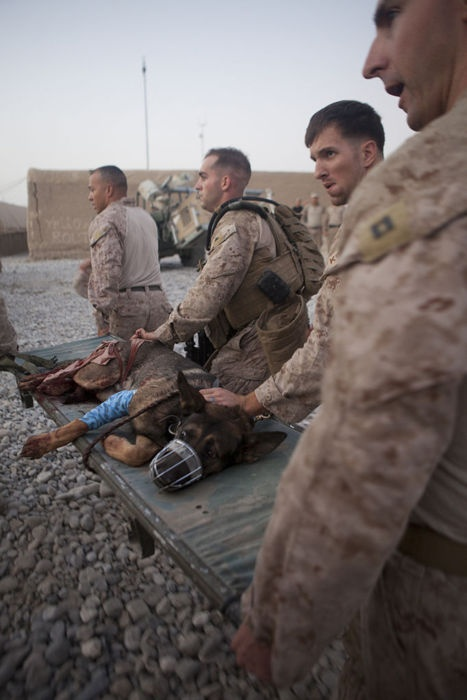 SANGIN, Afghanistan (Sept. 8, 2011) U.S. Marines from 1st Battalion, 5th Marines, Regimental Combat Team 8, carry an injured bomb-tracking dog to an awaiting helicopter at Forward Operating Base Jackson. The Marines and Afghan Uniformed Policeman were struck by a suicide bomber using a vehicle-borne improvised explosive device while on a patrol. (U.S. Marine Corps photo by Cpl. Logan W. Pierce/Released)
