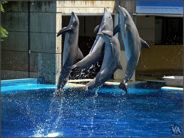 ■ Dolphins foursome synchronously jumping high at Madrid's Zoo Aquarium (Spain). Click here to see the beautiful largest-size version of this pic.    Taken handheld with my Panasonic Lumix TZ7 (ZS3) in available light using a long telephoto (180 mm) fo This Vertical Jump trainer is a unique multi-part vertical jump training program that provides trainees with all the