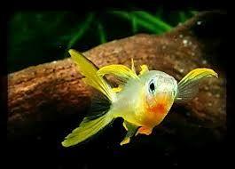 Australia - Pesci acqua dolce e salata d'acquario - descrizione, diffusione, alimentazione, riproduzione