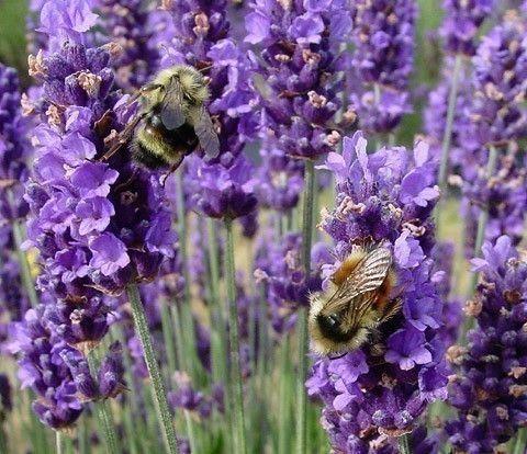 Lavender angustifolia - essential oil extraordinnaire!  Incredibly versatile.