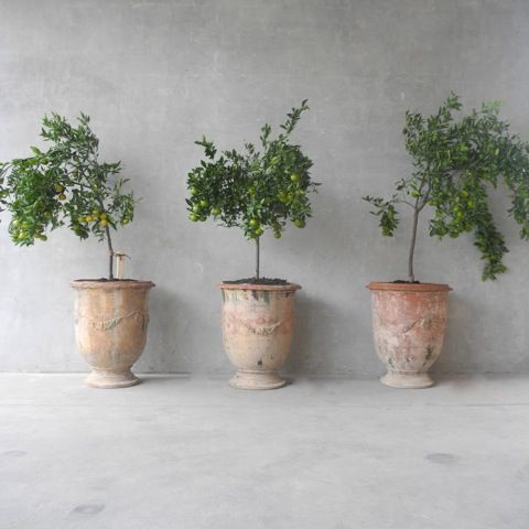 citrus fruit trees in antique Italian terracotta