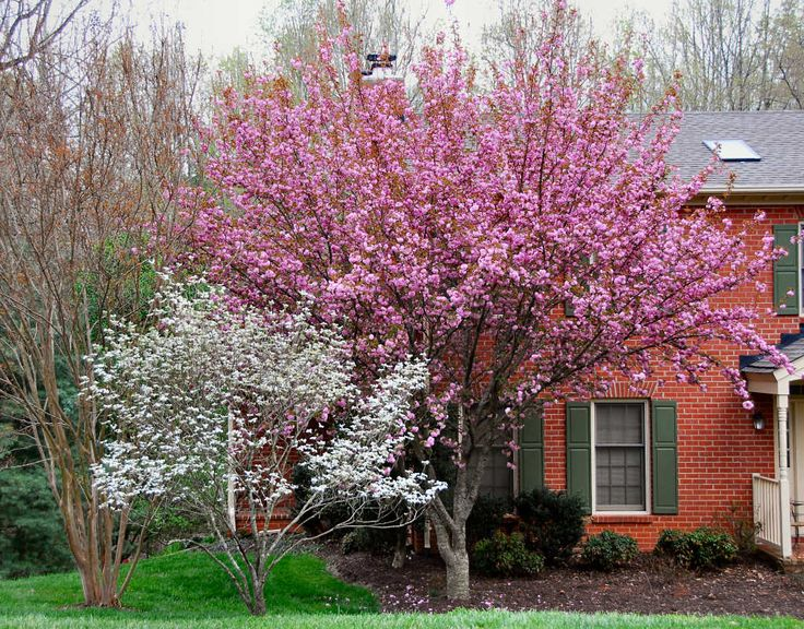 Kwanzan cherry tree dogwood and cherry kwanzan japanese for Small trees suitable for small gardens