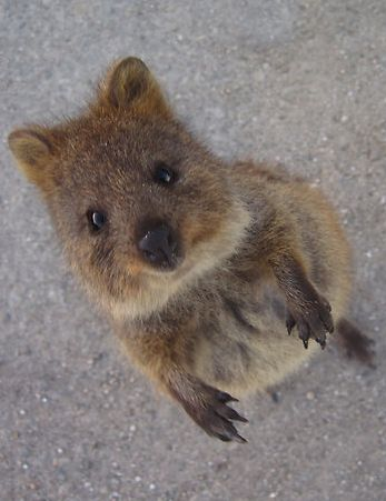 Quokka!!! Never heard of until now!! Thank You Pinterest!!! This little guy is adorable! He looks like a bear and a squirrel mixed together❤❤❤❤
