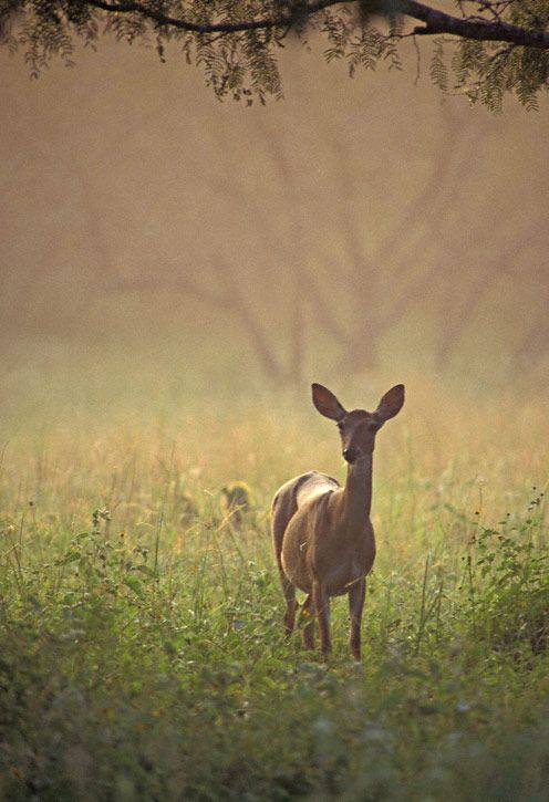 White-tailed Deer (Odocoileus virginianus) by Greg Lasley, Nature Photography