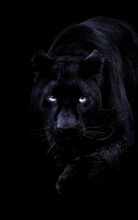 Panthère Noir / Black Panther                                                                                                                                                      More