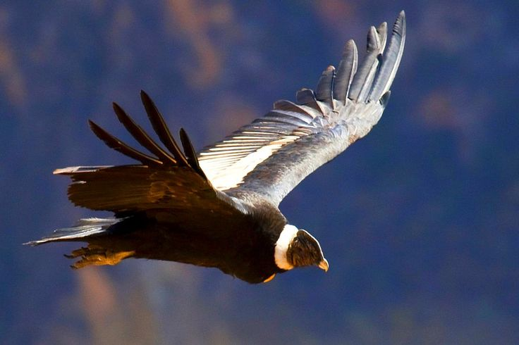 Andes  | El Condor - Mallku Kunturi