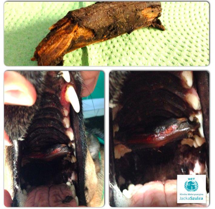 Patyk utknął w jamie ustnej psiaka #dog #vet #doggy