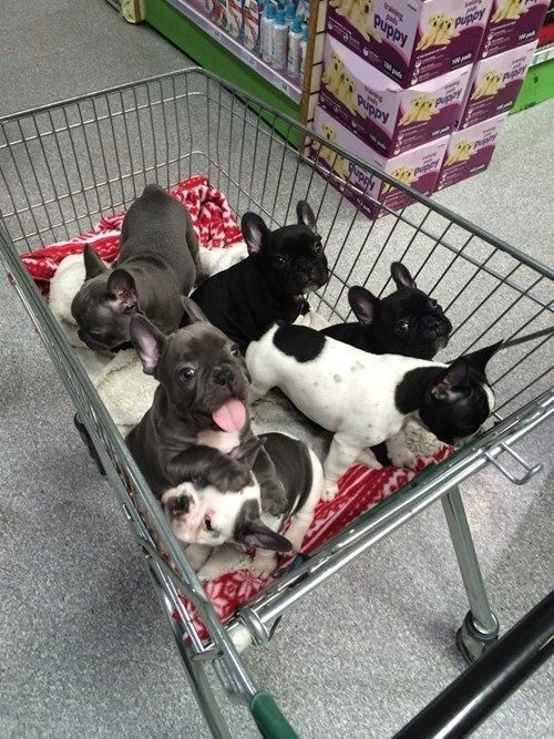 Excuse Me, Which Aisle are Those On? French Bulldog Puppies! www.bullymake.com