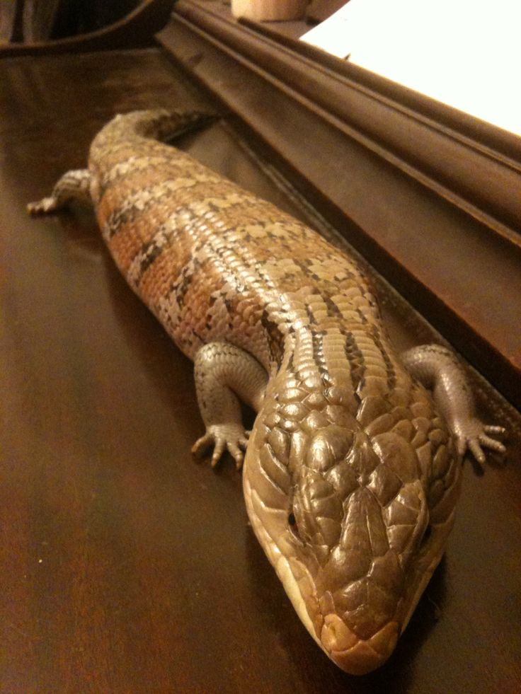 Chuck the Blue-tongued Skink