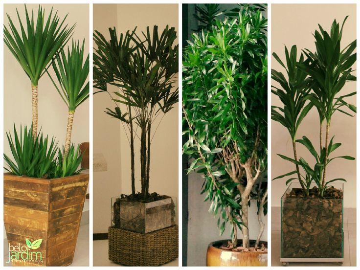 4 plantas resistentes a ambientes internos. Yucca, Háfia, Dracena Pleomele e Dracena Poá