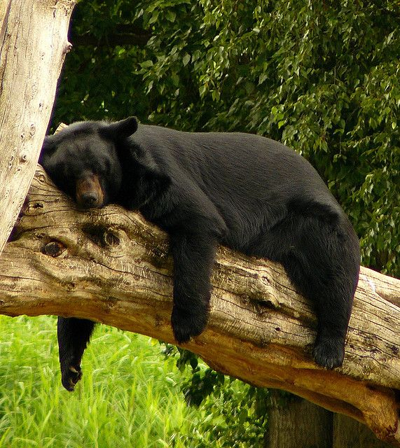 Black Bear....this is how I feel after a hard workout