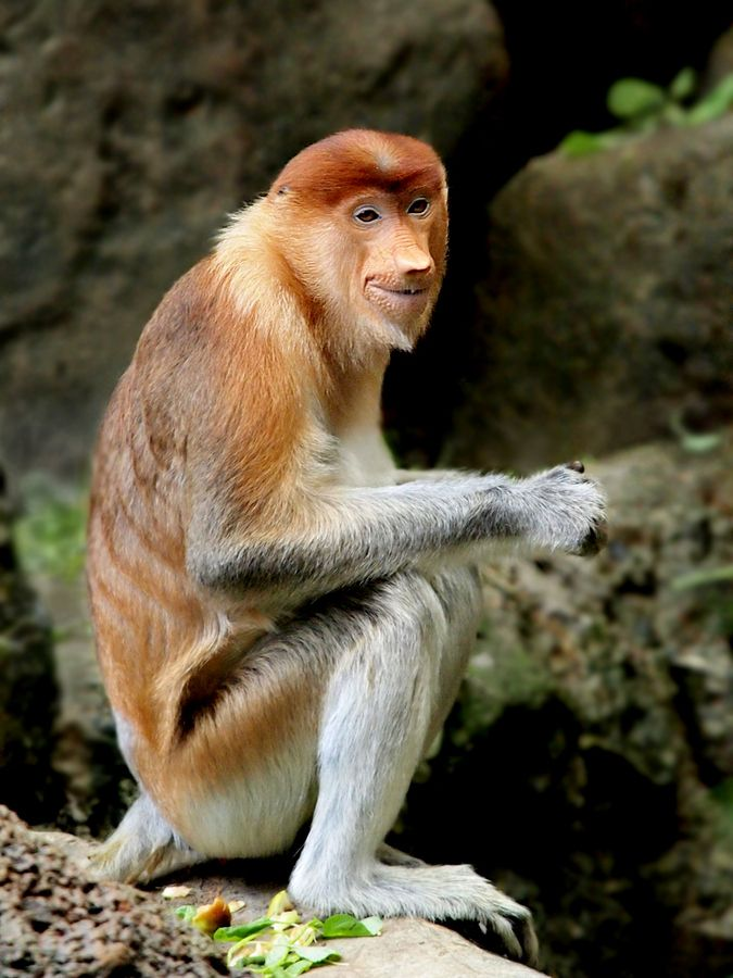 the smiling bekantan - Irawan Subingar: Apes Monkeys, Probiscus Monkey, Animals Lif, Long Nos Monkey, Animal Lif, Guys, Photo, Ape Monkey, Probosci Monkey