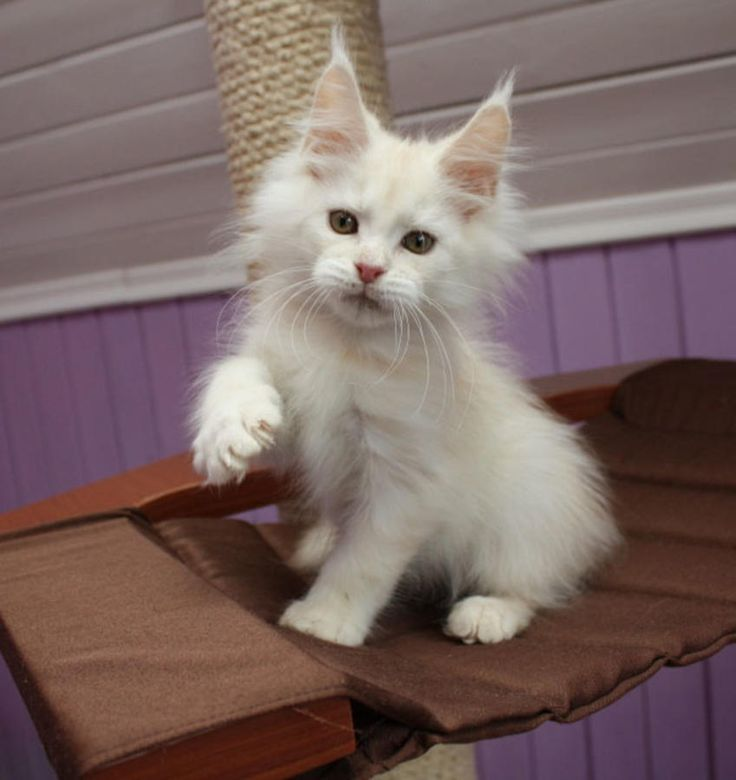 New!!!elite Maine Coon Kitten From Europe With Excellent Pedigree. Male. Kazak in - Hoobly Classifieds