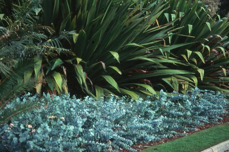 Coppiced Eucalytpus cinerea hedge.  Great article on hedging Australian natives