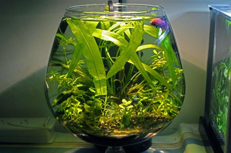 Topic epiphyte 39 s fluval spec 2g vase 2g betta homes for Betta fish vase