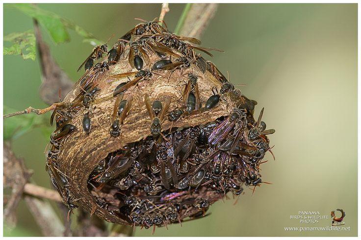 | Wasp nest / Nido de avispas | (Apocrita) © www.panamawildlife.net