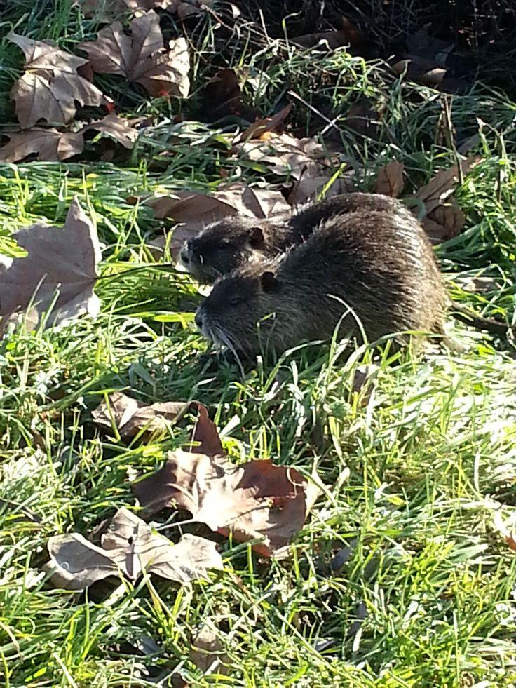 Pantegane? Gli ho visti mentre camminavo lungo il Mincio...