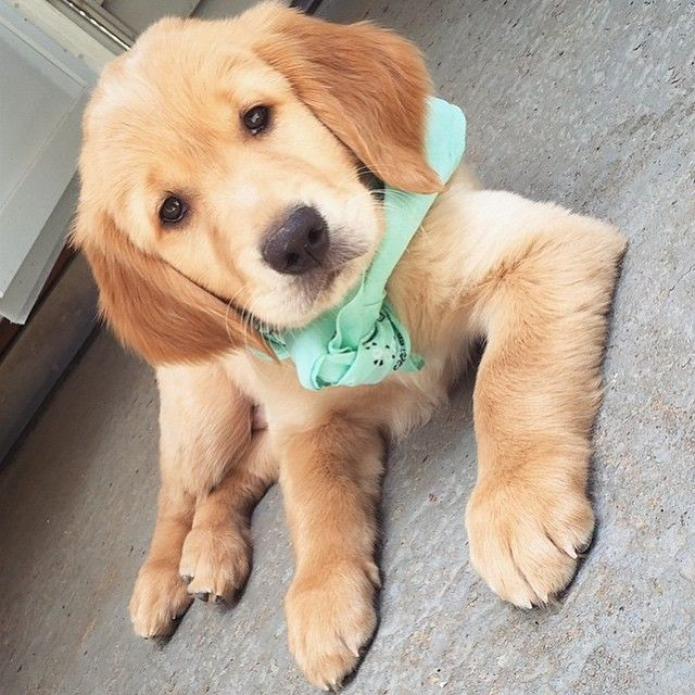 Pin By Ty Davidson On Animals Cute Dogs Animals Friends Goldendoodle Puppy For Sale