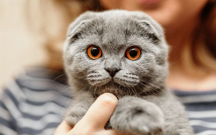 Download wallpapers Scottish Fold, funny cat, pets, kitten, gray cat, cats, cute animals, domestic cat, Scottish Fold Cat