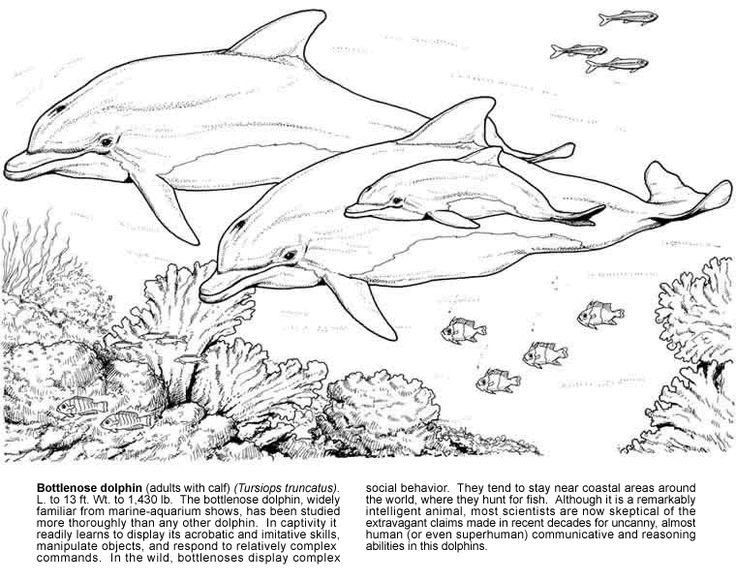 42 best dolphin images on Pinterest | Bottlenose dolphin, Dolphin ...