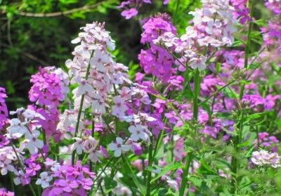 Garden Phlox Plants: Tips For Growing And Care Of Garden Phlox - Nothing beats the appeal of garden phlox plants. These tall, eye-catching perennials are ideal for sunny borders. In addition, the large clusters of pink, purple, lavender or white flowers bloom for several weeks in summer, and make excellent cut flowers. Growing hardy garden phlox is simple and so is its general care.