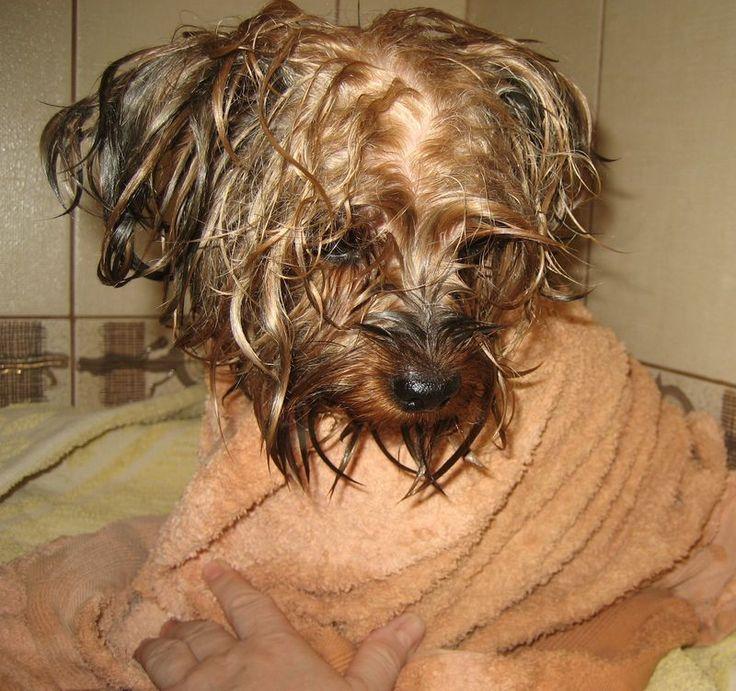 «Те, кто содержит животных, должны признать, что скорее они служат животным, чем животные им.» (Мишель Монтень) «Мы привязаны к собакам, потому что у нас много общего. Они, как и мы, ворчат, смущаются, их легко вывести из себя или развеселить; они благодарны за добро и внимание, даже самое незначительное.» (Пэм Браун)  Источник Мытье собак в …