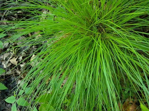 how to grow native tussock grass