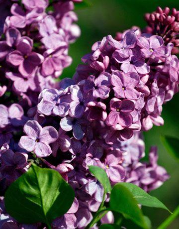 LilacButterflies Gardens, Lilac Flower, Flower Gardens, Lilac Trees, Gardens Flow, Flower Plants, Backyards, Gardens Lilac, Favorite Flower
